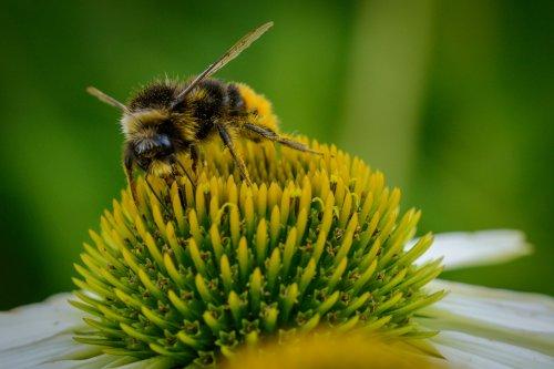 Biene im Pelz 2