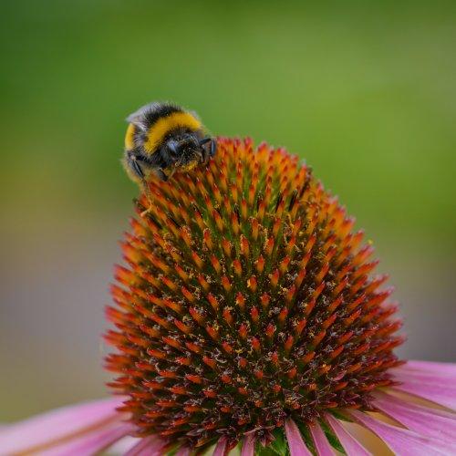 Biene im Pelz 3